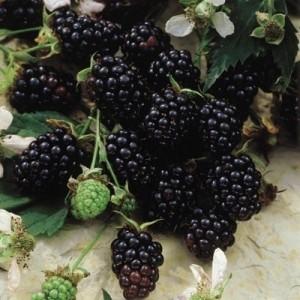 Chester_thornless_blackberry