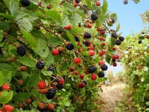 blackberrry_row_web